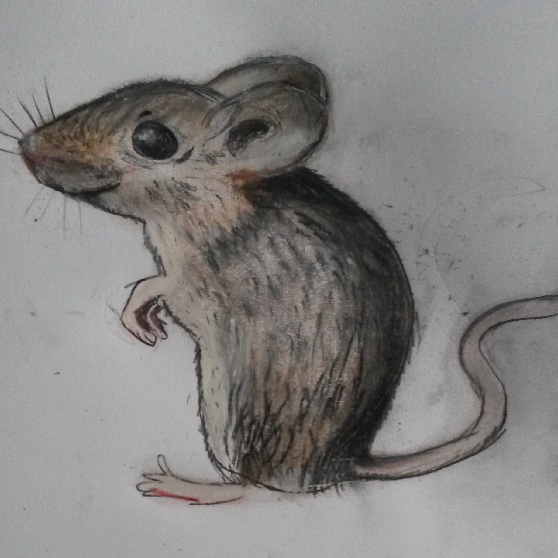 Mouse Sitting Drawing